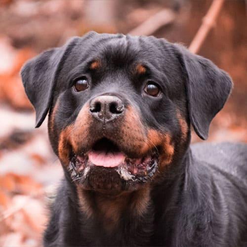 Obtenir un permis de détention pour chien dangereux