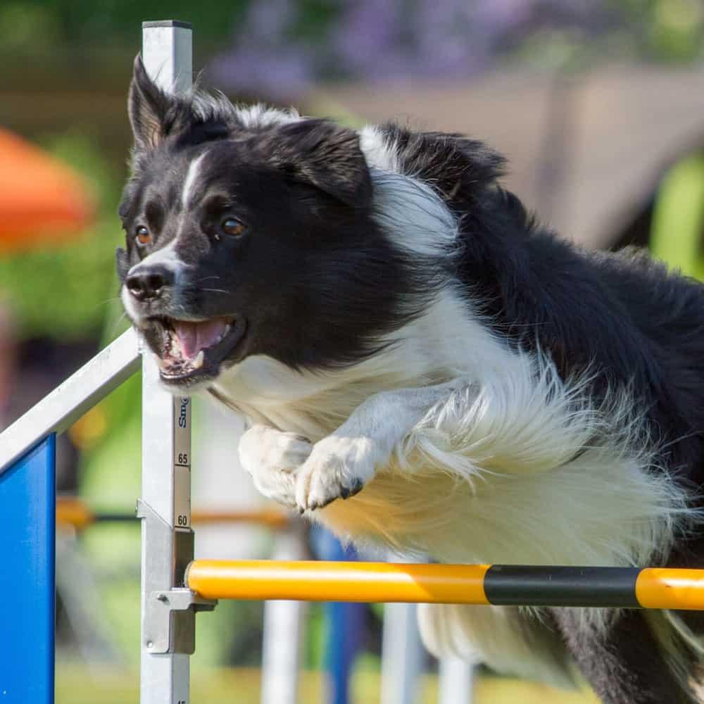 Agility, sport canin à Nantes