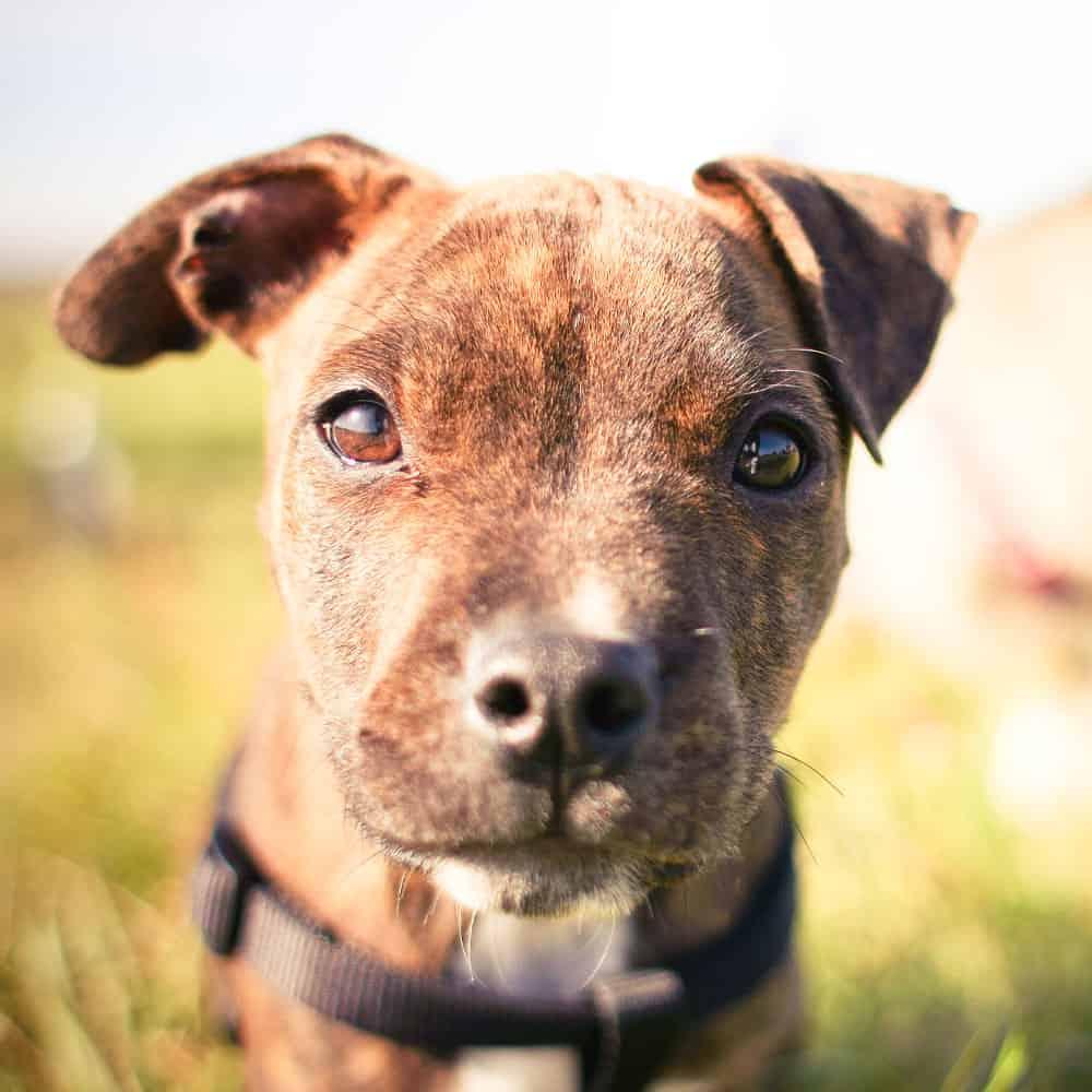 Droit et permis pour chiens dangereux