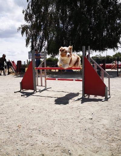 Cours d'agility berger australien Nantes