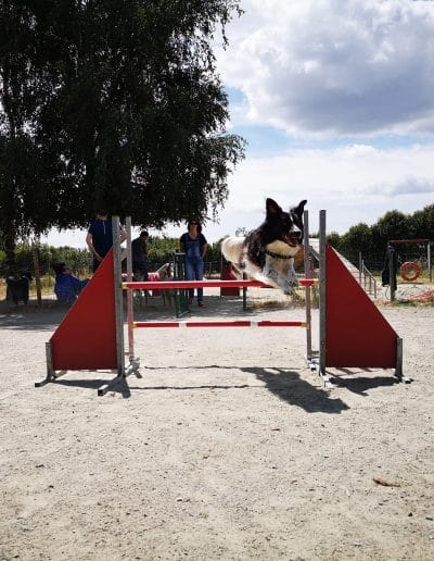 Cours d'Agility Loupio Border Collie