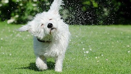 Coup de chaleur chez le chien
